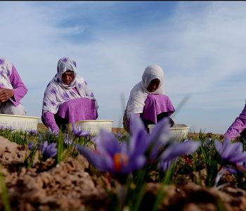 In this photograph taken on November 18, 2014, Afghan workers pick saffron flowers in the Ghoriyan District of Herat. Saffron cultivation needs lots of land and a lot of labour, but the world's most expensive spice might be an economic lifeline for Afghanistan with international financial support set to fall in the coming years. In Herat, about 6,000 people -- 4,000 of them women -- are employed in saffron farming on 800 acres (325 hectares) of land, with the product exported to India, Europe, the United States and China. AFP PHOTO / Aref KARIMI